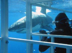 vistamiento de tiburón blanco en Sudáfrica