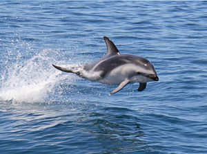 Delfines en Kaikoura